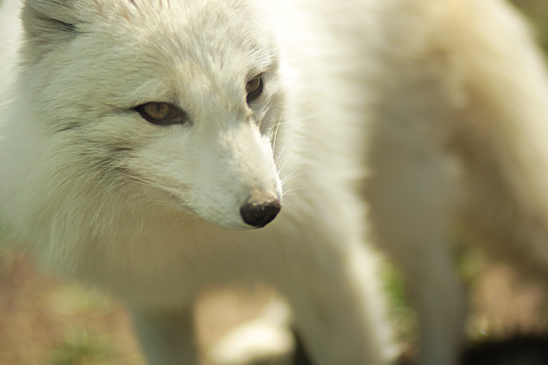 Artic Fox 2