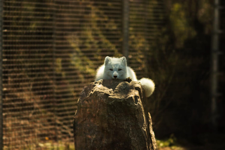 arttic fox