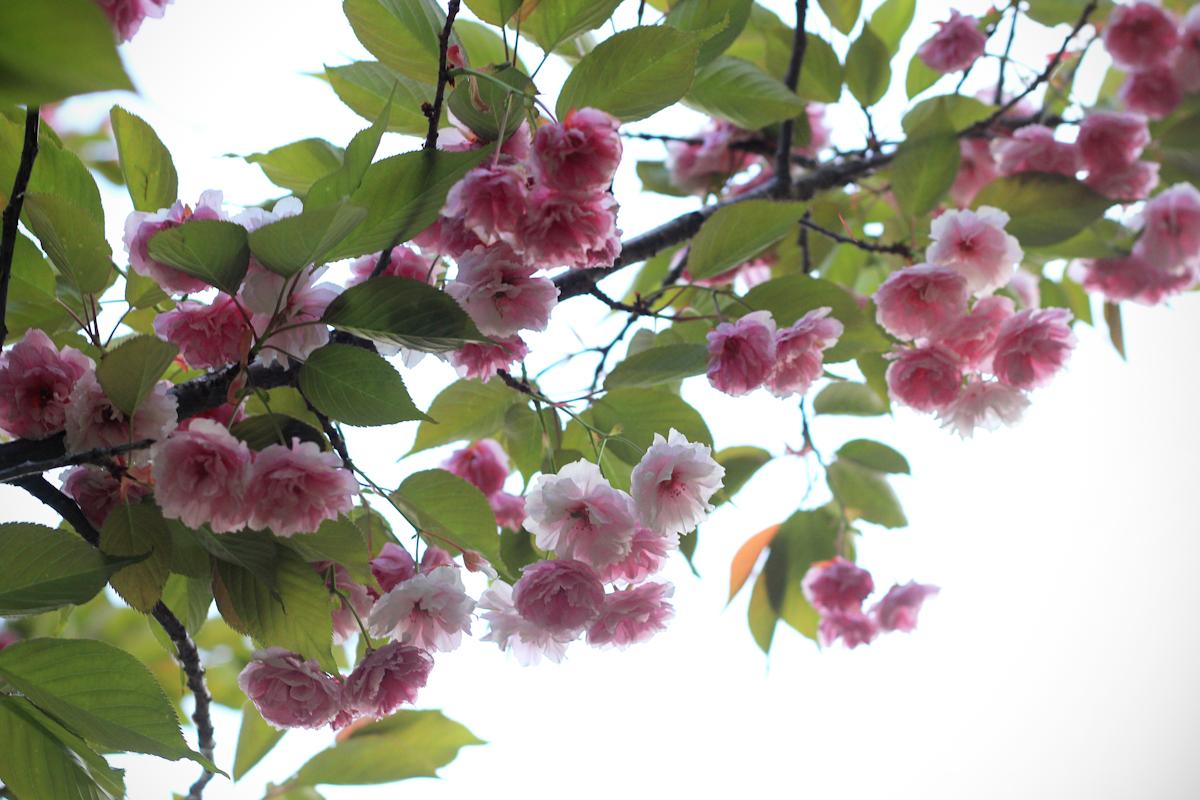 blossom11