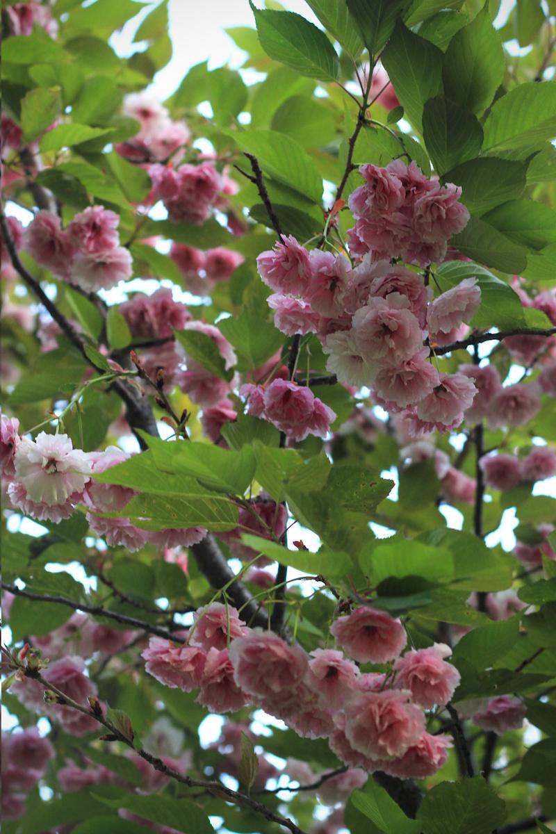 blossom12