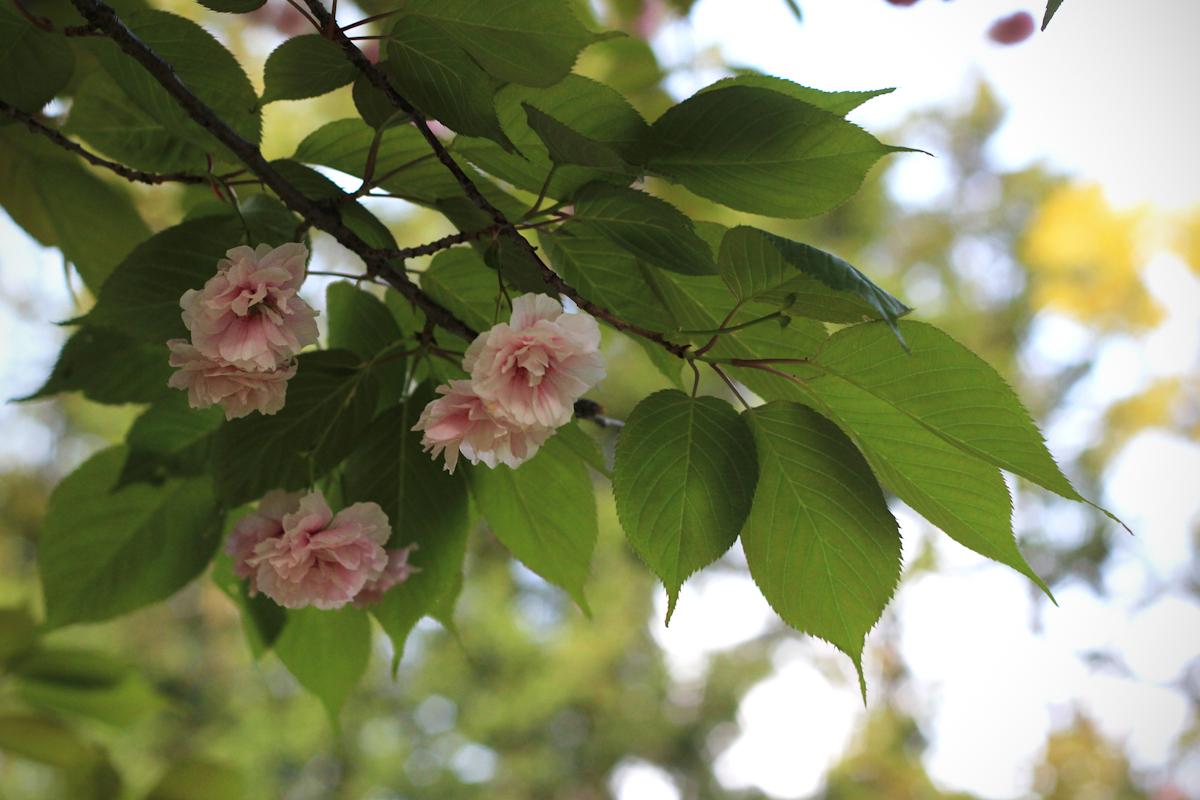 blossom15