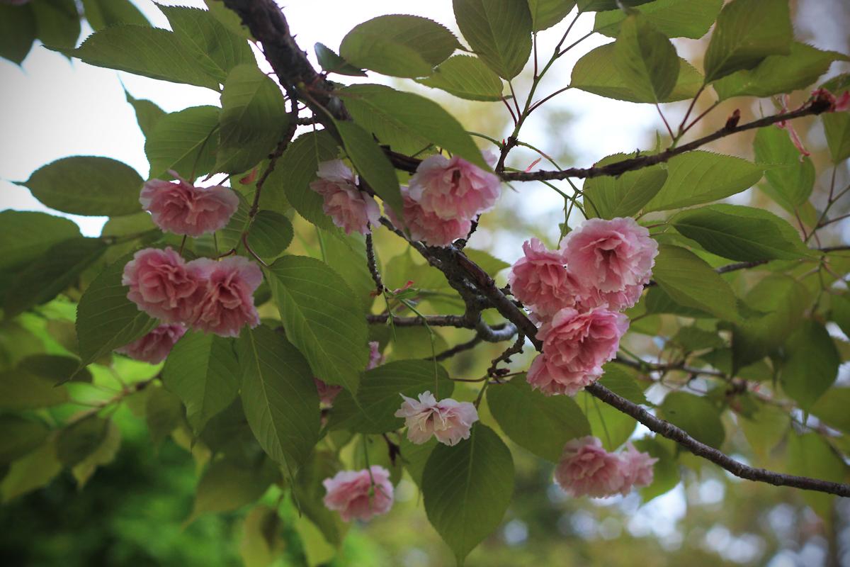 blossom20