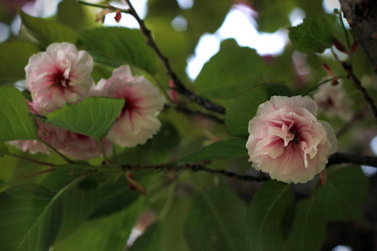blossom21