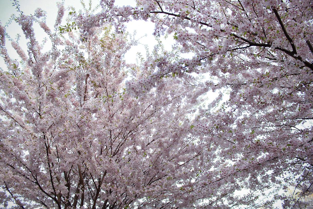 blossomgalore2