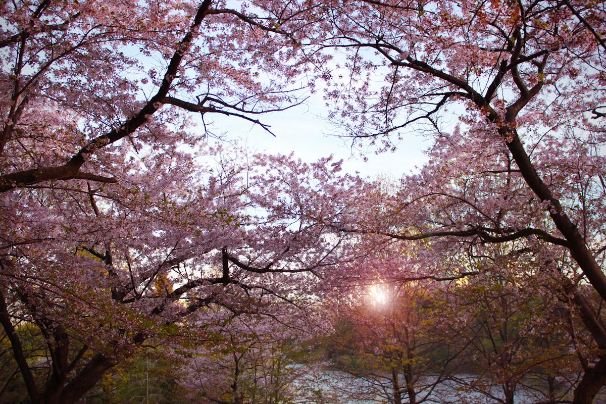 cherryforest