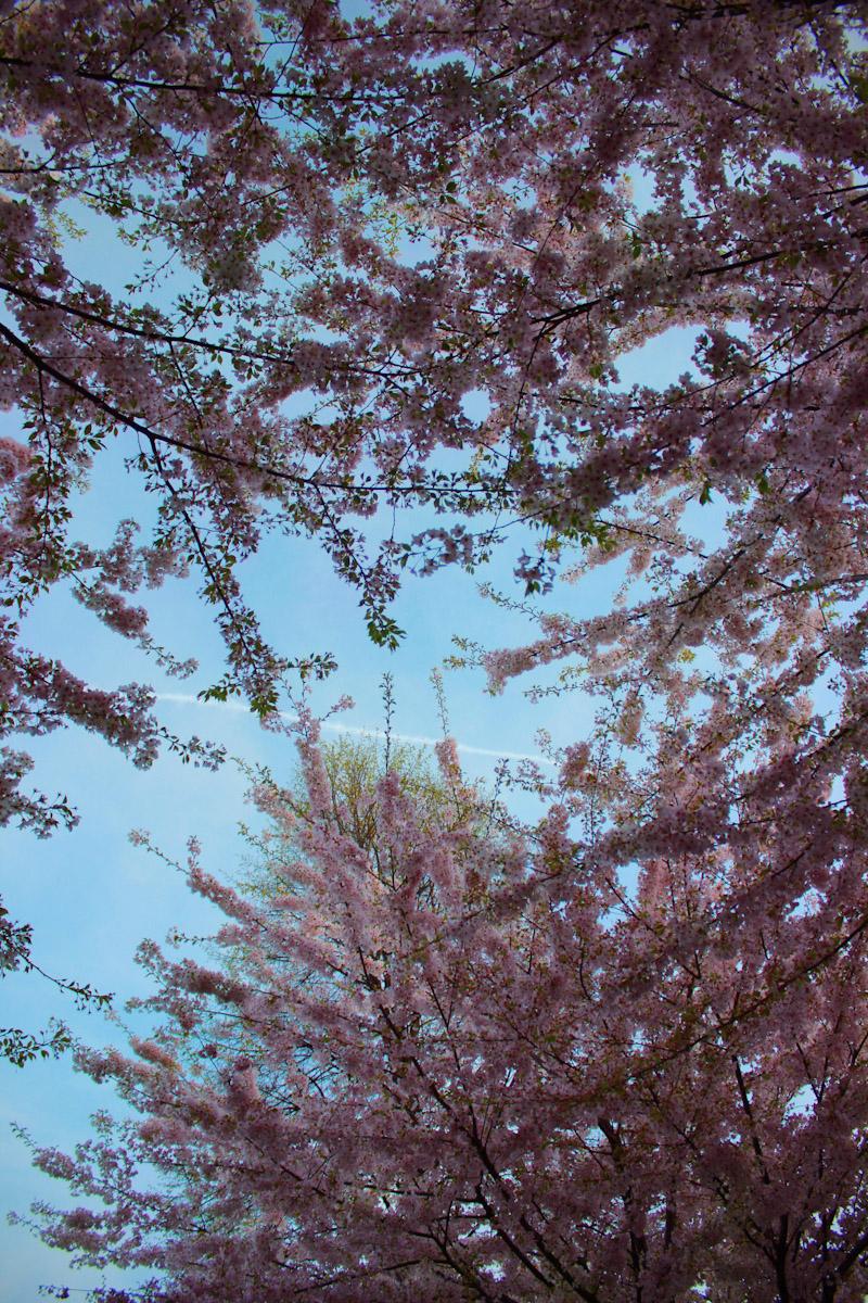 cherryforest2
