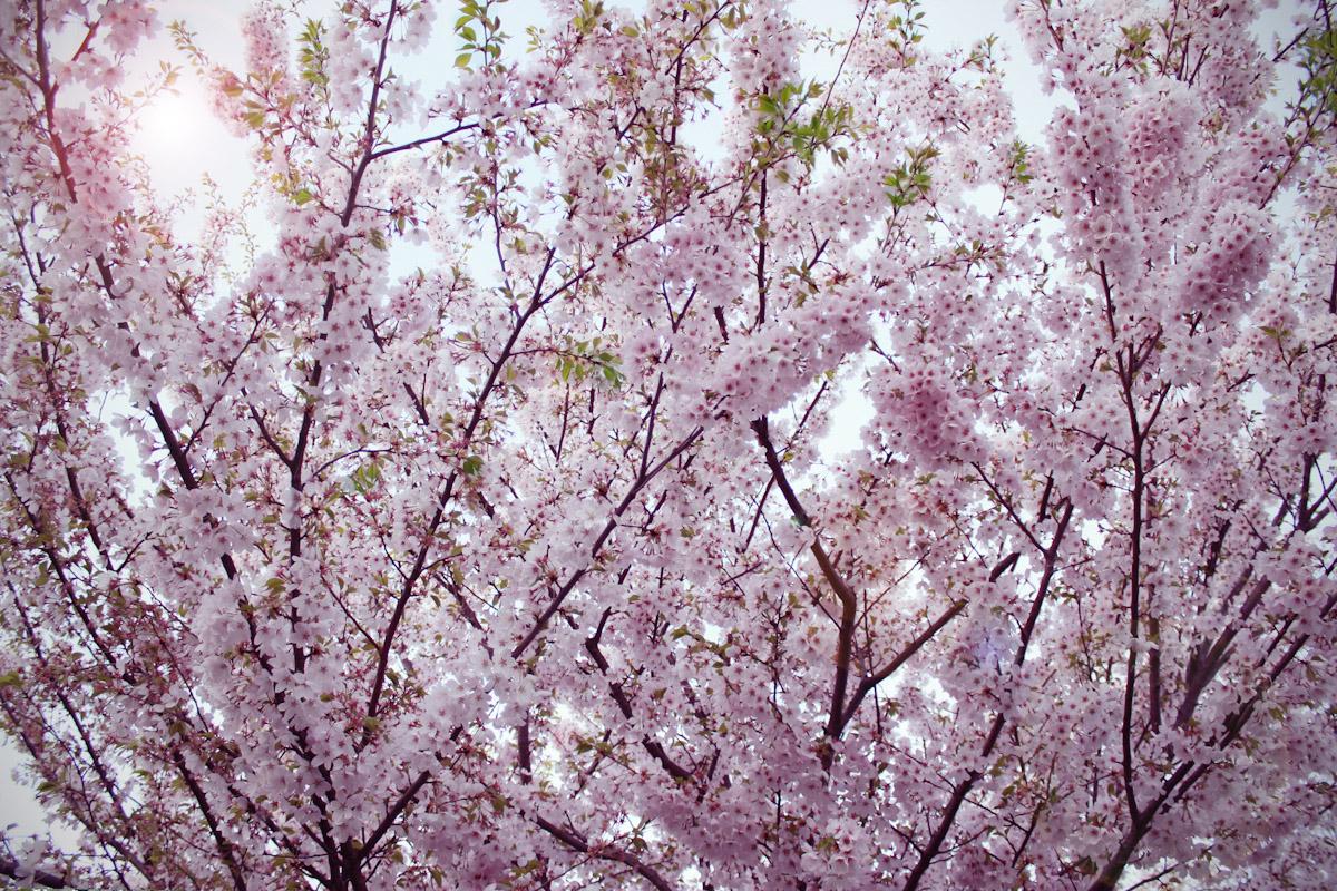 cherryforest3