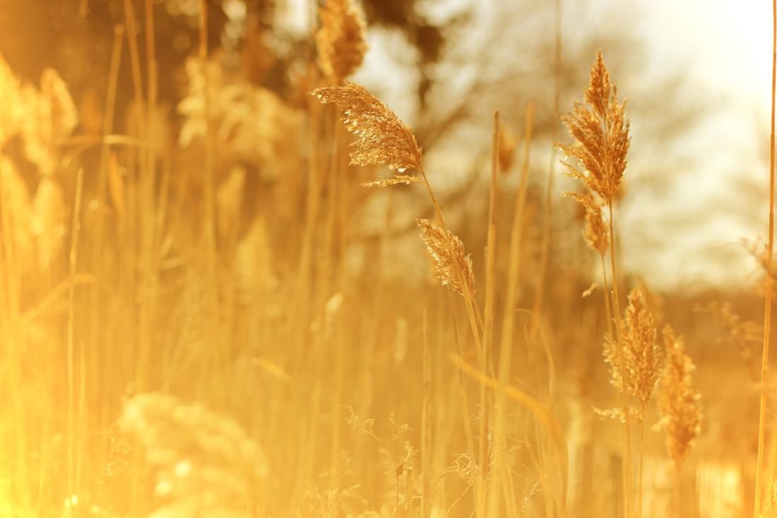 wheat2-4