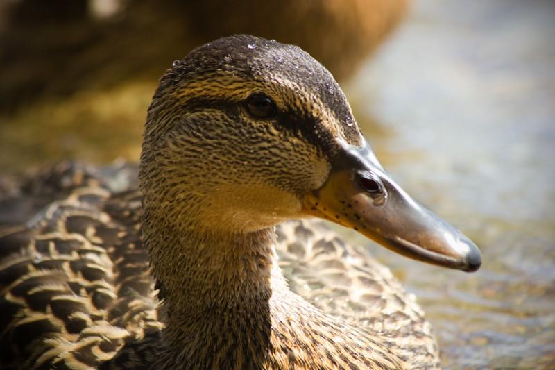 duck copy-8