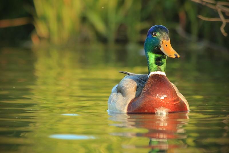 duck1-36