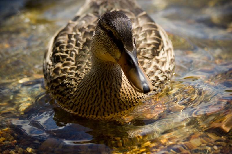 duck3-9