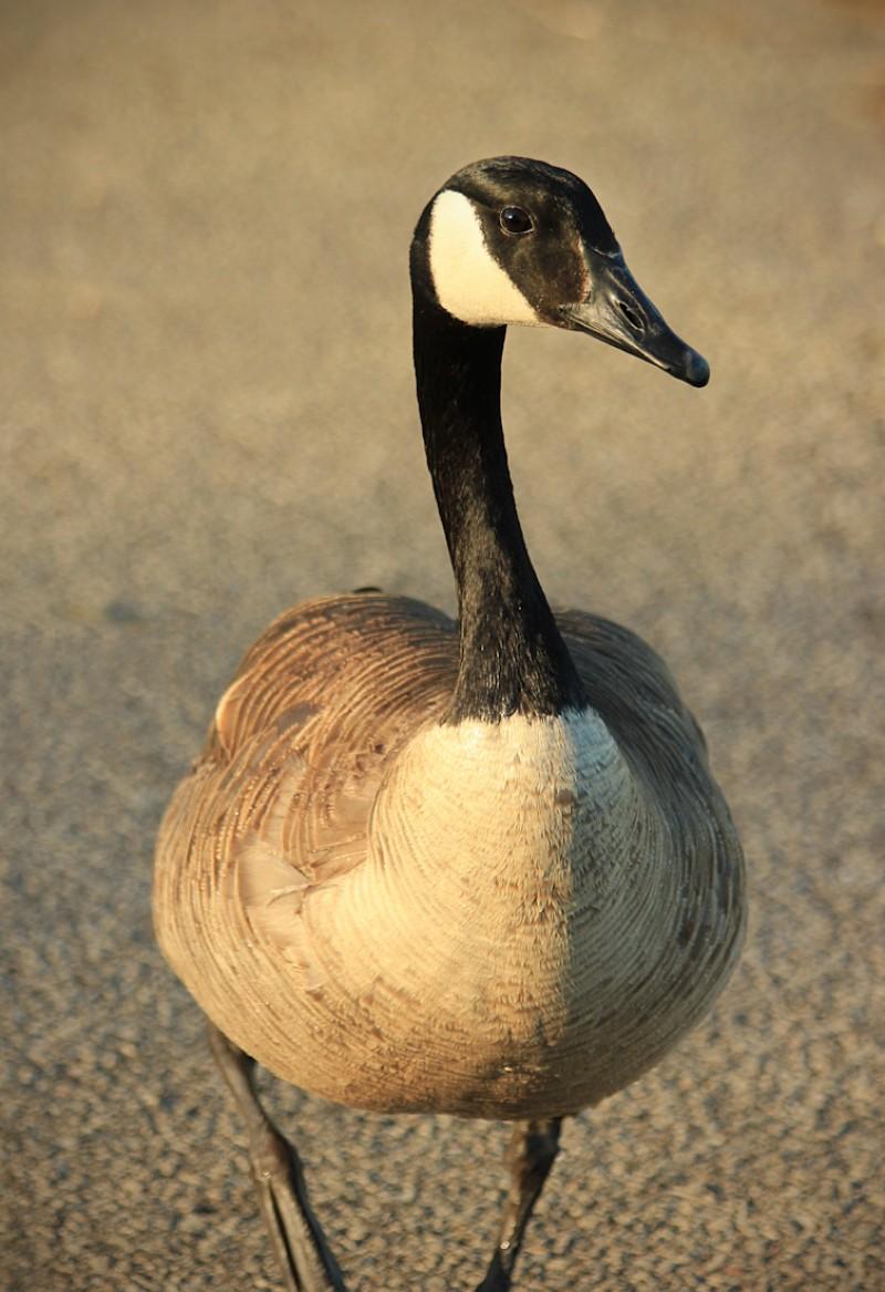 goose copy-39