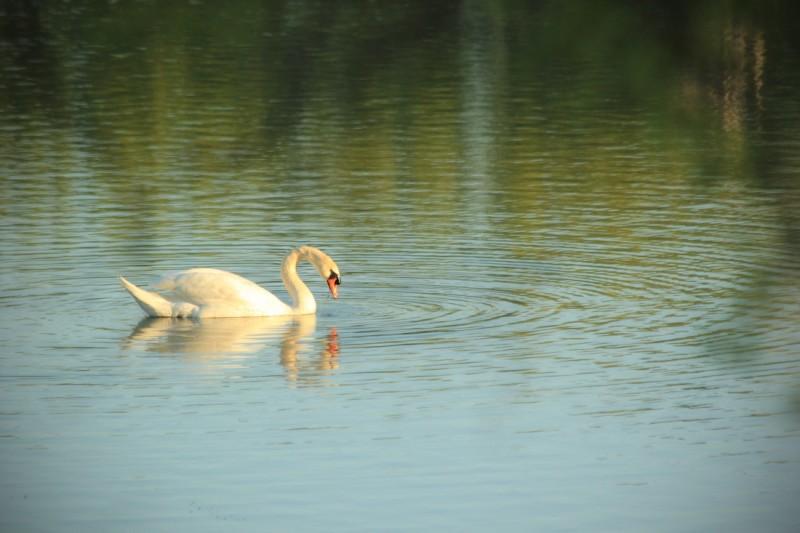 swan1-46